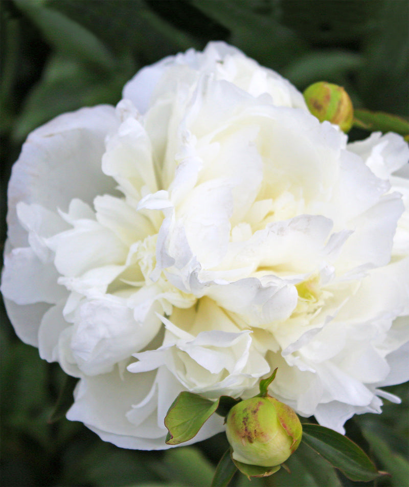 SOLD OUT Duchess De Nemours Peony - 1 root division