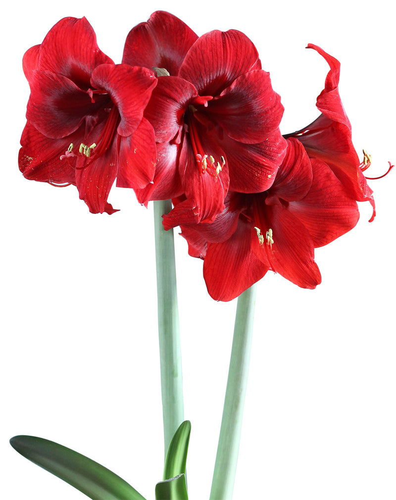 SOLD OUT Dynamite® Mini Amaryllis Bulb