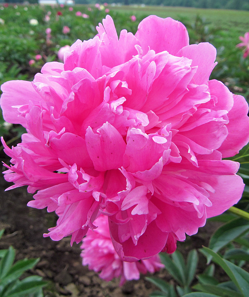 SOLD OUT Edulus Superba Peony - 1 root division