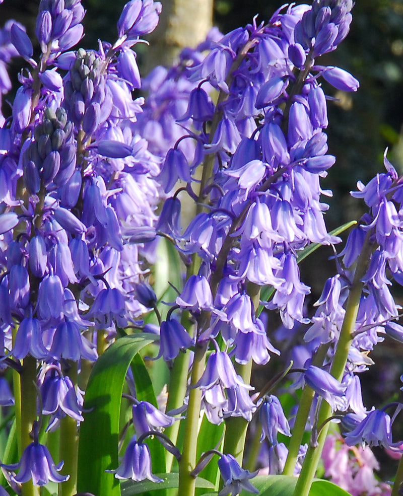 SOLD OUT Excelsior Spanish Bluebells - 25 bulbs