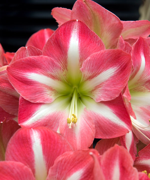 SOLD OUT Exposure Amaryllis Bulb