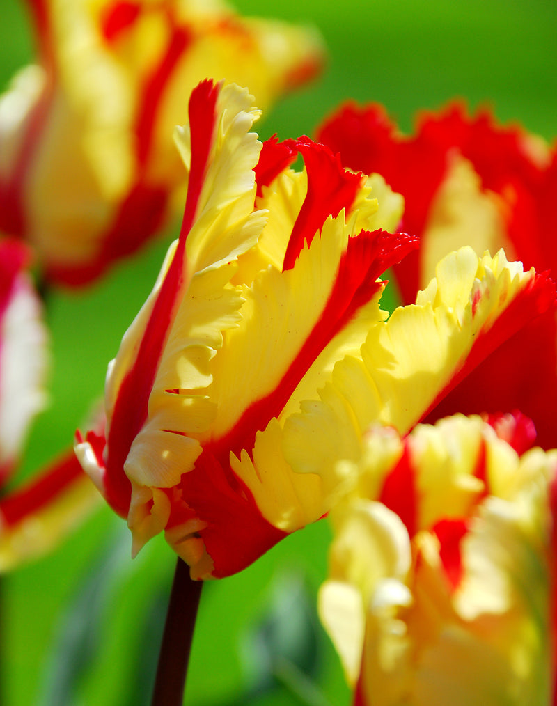 SOLD OUT Flaming Parrot Tulip - 10 bulbs
