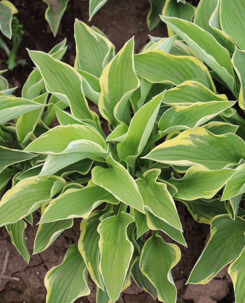 SOLD OUT Fortunei Aureo Marginata Hosta - 3 root divisions