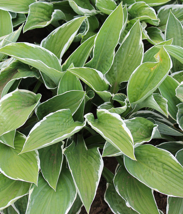 SOLD OUT Francee Hosta - 3 root divisions