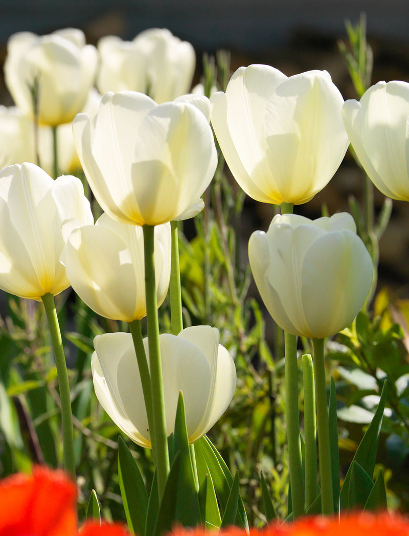 SOLD OUT Francoise Darwin Hybrid Tulip - 10 bulbs