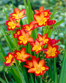 SOLD OUT Oberon Freesia - 25 bulbs