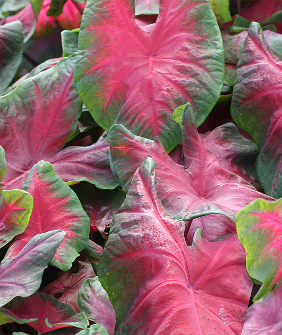 Freida Hemple Fancy Leaved Caladium - 3 tubers