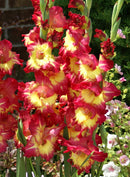 Fun Time Gladiolus - 5 bulbs