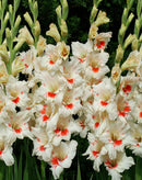 SOLD OUT Mystic Eyes Gladiolus- 5 bulbs