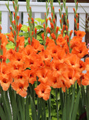 SOLD OUT Prince of Orange Gladiolus- 5 bulbs