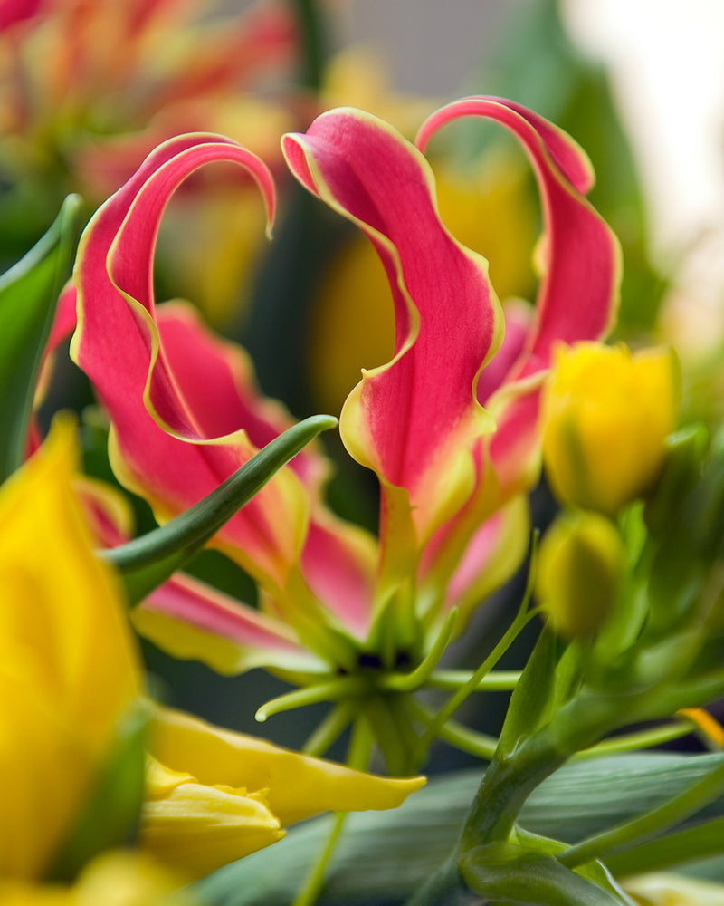 Gloriosa Lily - 3 bulbs