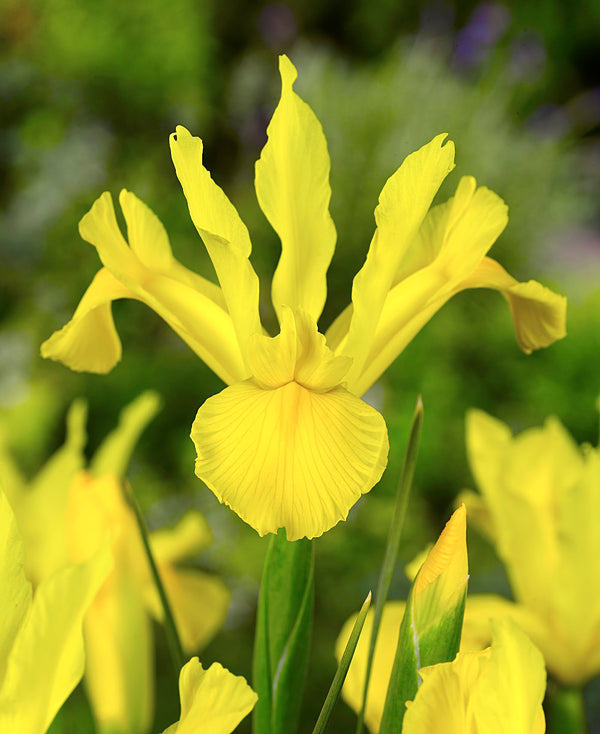 SOLD OUT Golden Giant Dutch Iris - 10 bulbs