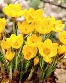 Goldilocks Species Crocus - 10 bulbs
