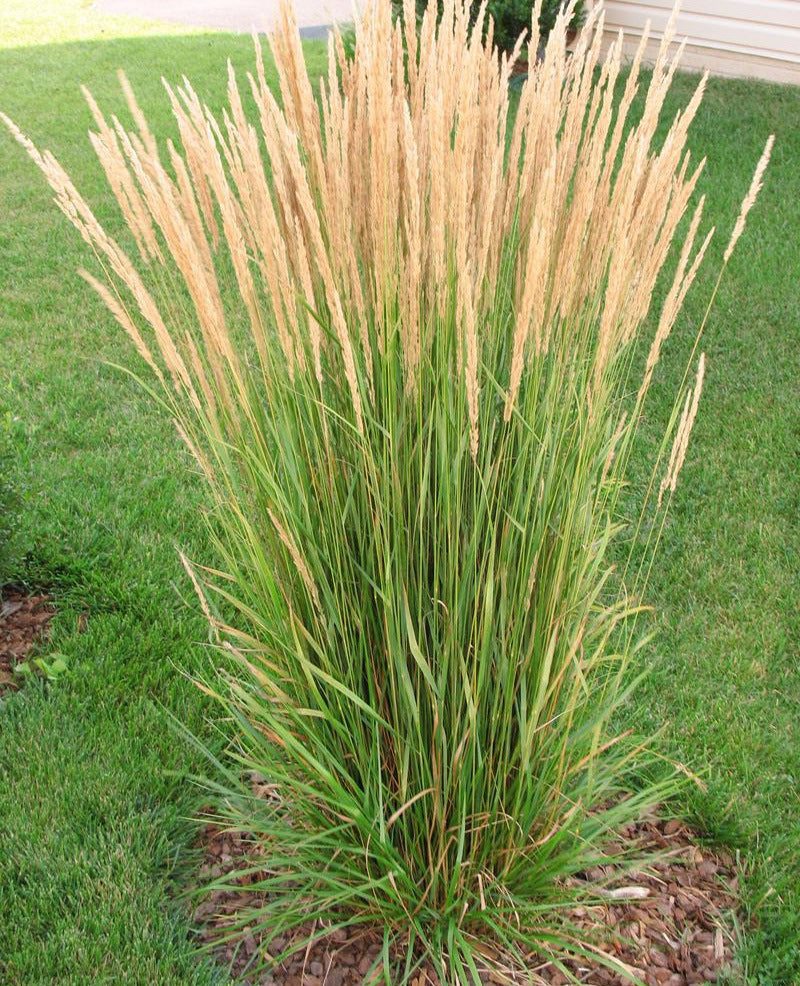 Karl Foerster Feather Reed Grass - 3 bareroot plants