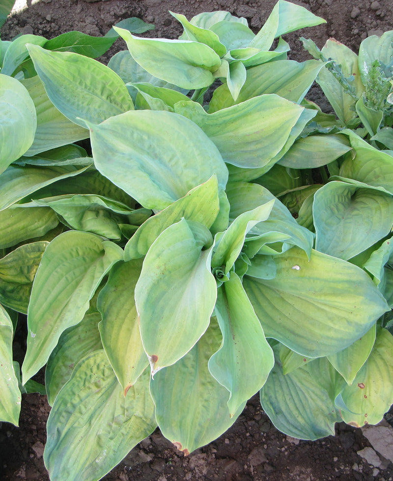 SOLD OUT Guacamole Hosta - 3 root divisions
