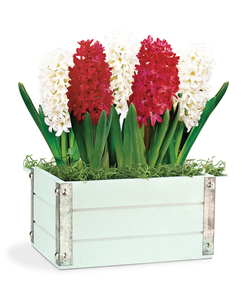 Heavenly Hyacinth Bulb Gift