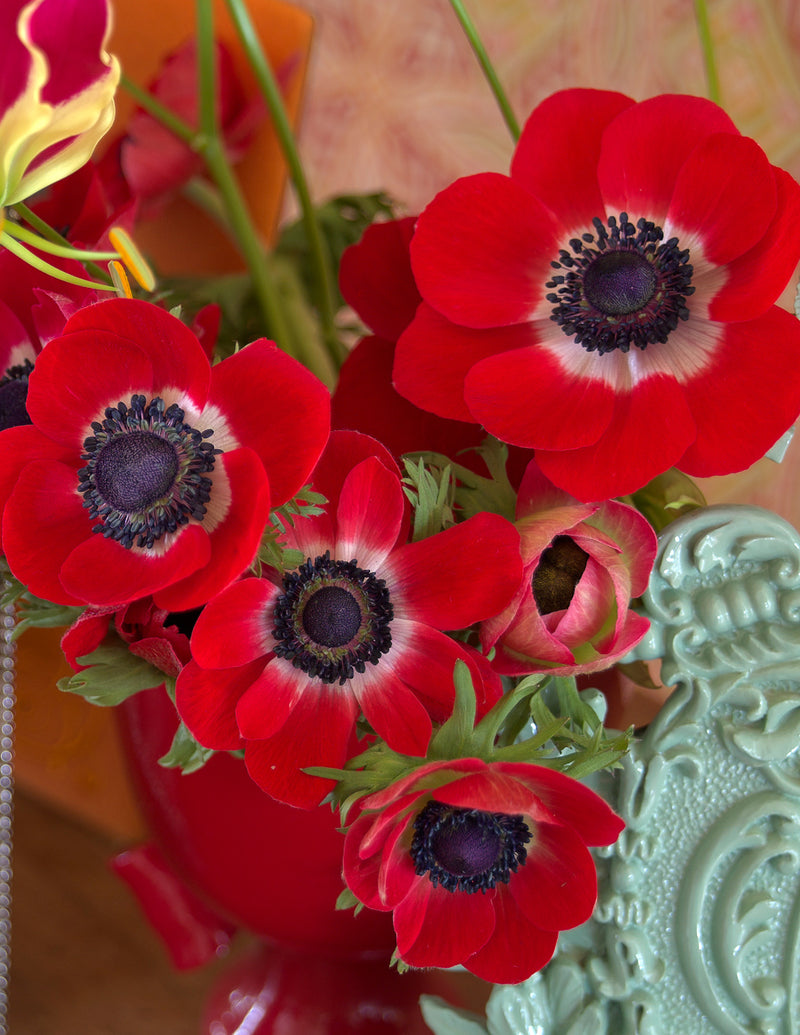 Hollandia Anemone de Caen - 25 bulbs