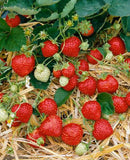 Honeoye Junebearer Strawberry - 10 root divisions