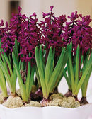 SOLD OUT Woodstock Hyacinth - 10 bulbs