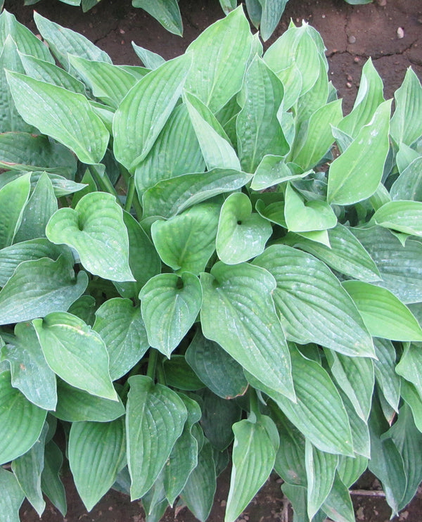 SOLD OUT Hyacinthina Hosta - 3 root divisions