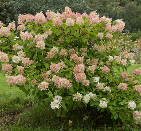 SOLD OUT Hydrangea Peegee Pink - 1 Bareroot plant