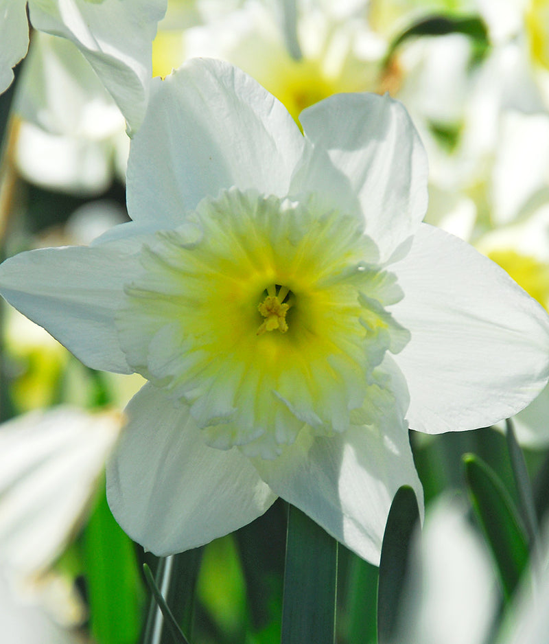 SOLD OUT Ice Follies Large Cup Daffodil - 10 bulbs
