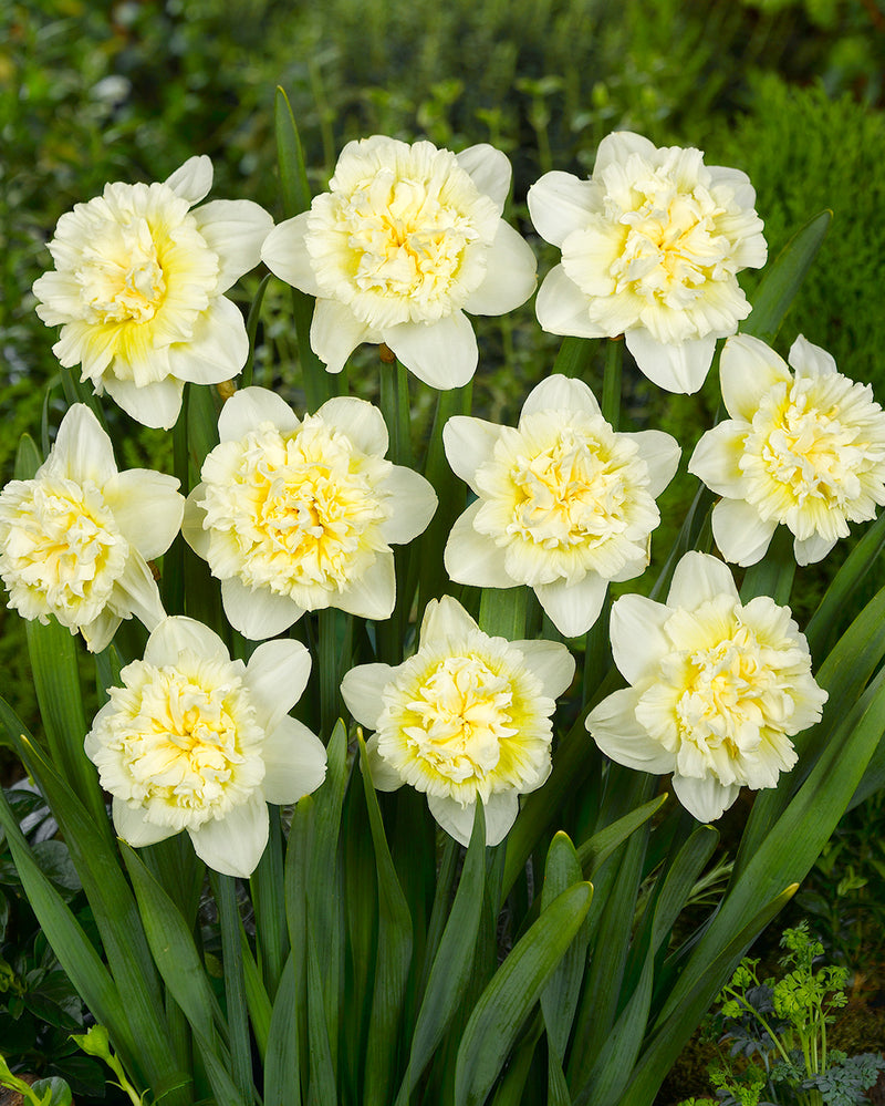 SOLD OUT Ice King Double Daffodil - 10 bulbs