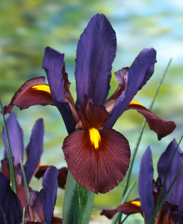 SOLD OUT Eye of the Tiger Dutch Iris - 10 bulbs