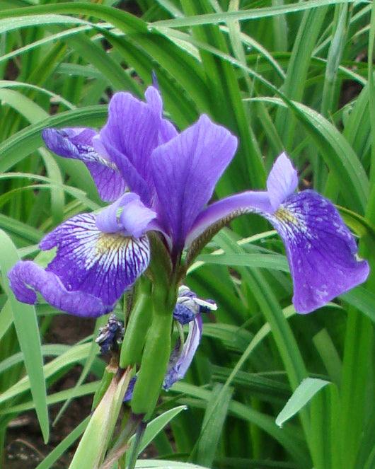 SOLD OUT Gerald Darby Water Iris - 3 root divisions