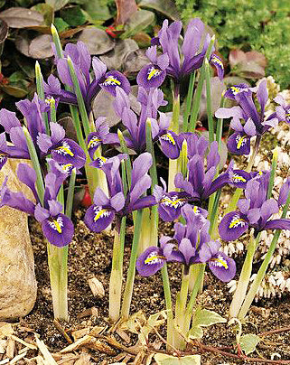 SOLD OUT J.S. Dijt Dwarf Iris - 10 bulbs