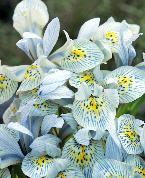 SOLD OUT Katharine Hodgkin Dwarf Iris - 10 bulbs