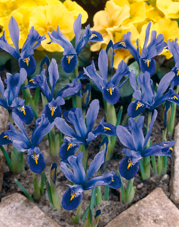 SOLD OUT Joyce Dwarf Iris - 10 bulbs