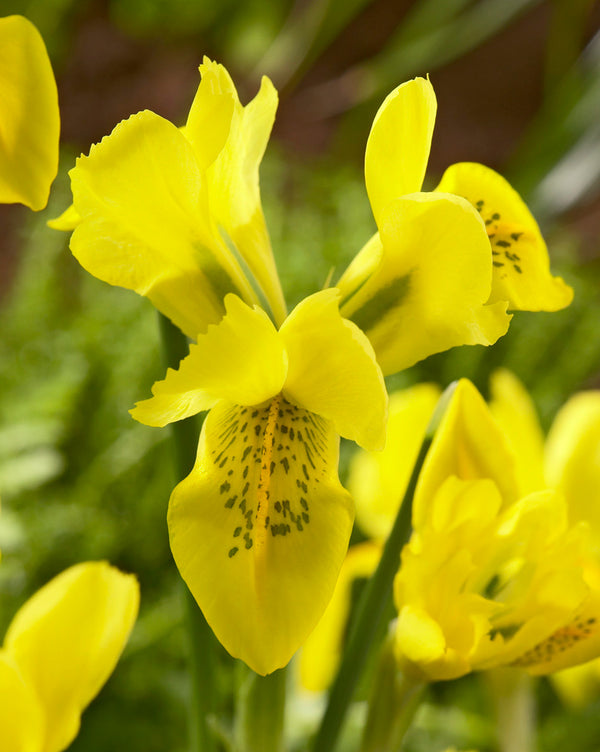 SOLD OUT Danfordiae Dwarf Iris - 10 bulbs