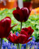 SOLD OUT Jan Reus Triumph Tulip - 10 bulbs