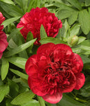SOLD OUT Karl Rosenfeld Peony - 1 root division