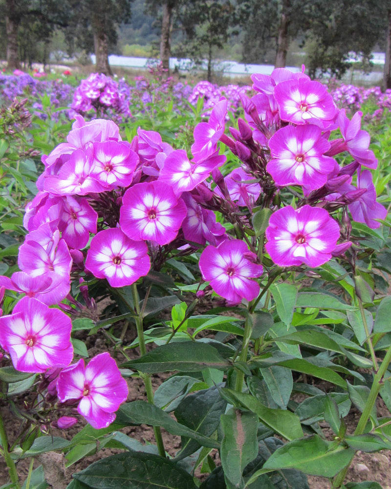Laura Tall Summer Phlox - 3 root divisions