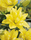 SOLD OUT Fata Morgana Double Asiatic Lily - 5 bulbs