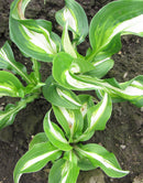SOLD OUT Medio Variegata Hosta - 3 root divisions