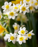 Minnow Small Cup Daffodil - 10 bulbs