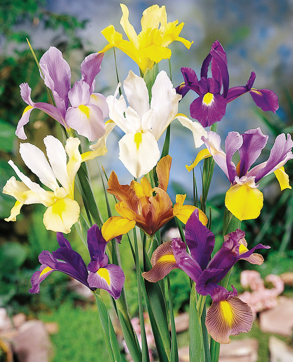 Mixed Dutch Iris - 7 bulbs