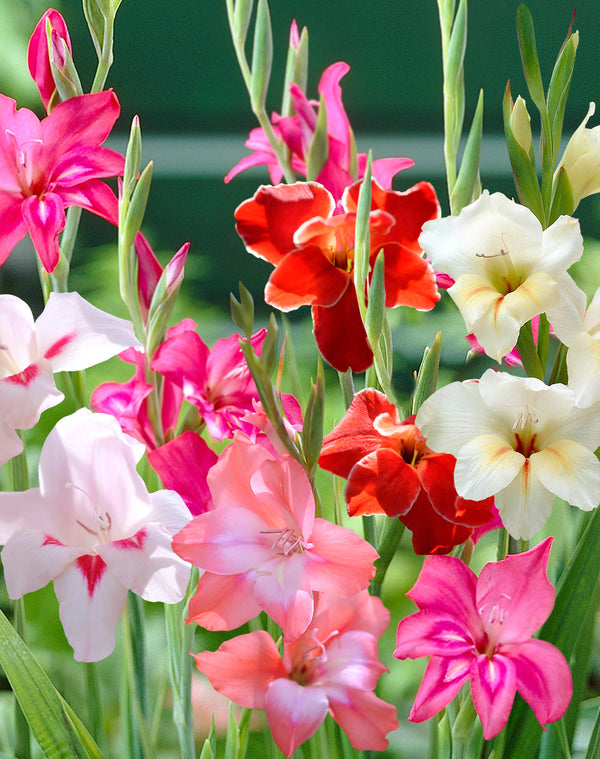 SOLD OUT Mixed Hardy Gladiolus - 15 bulbs