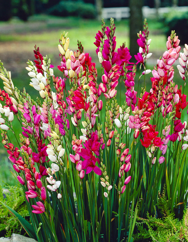 SOLD OUT Mixed Ixia - 25 bulbs