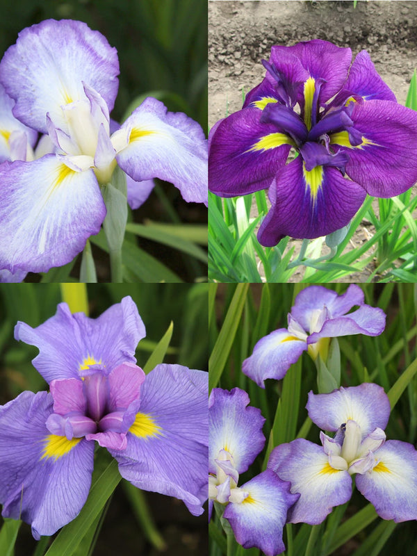 Mixed Japanese Iris - 9 root divisions