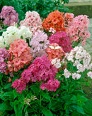 Mixed Tall Summer Phlox - 9 root divisions