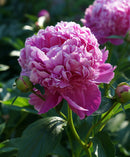 Mons. Jules Eli Peony - 1 root division