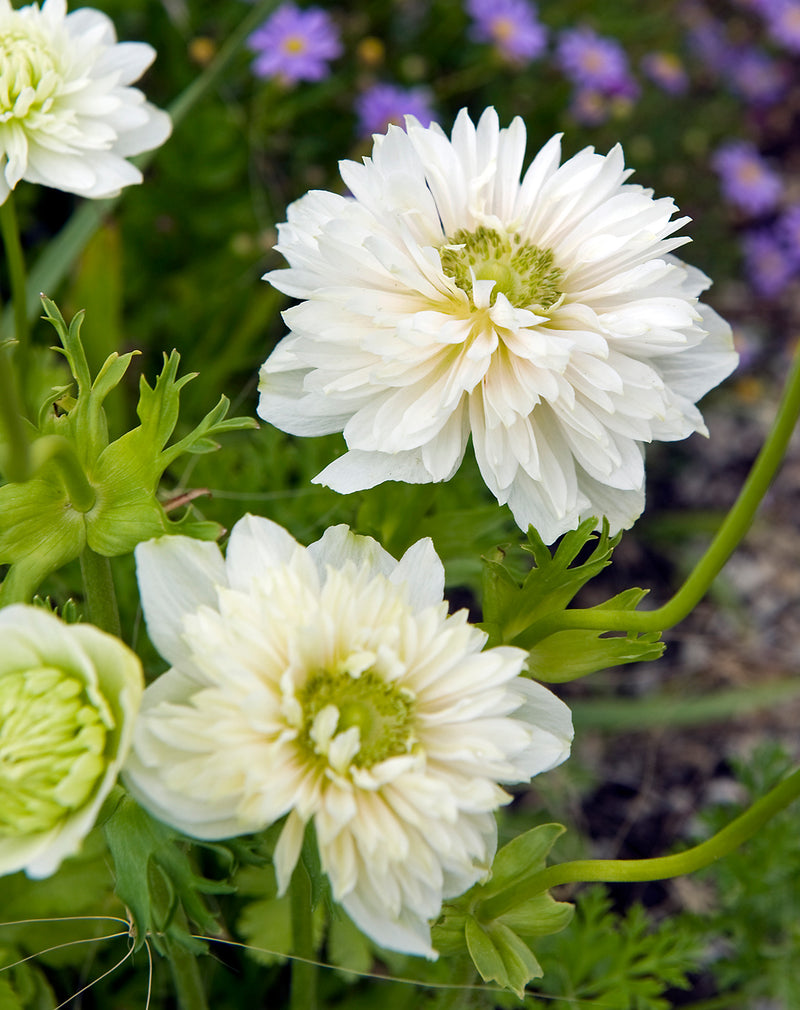 SOLD OUT Mount Everest Anemone Coronaria - 25 bulbs