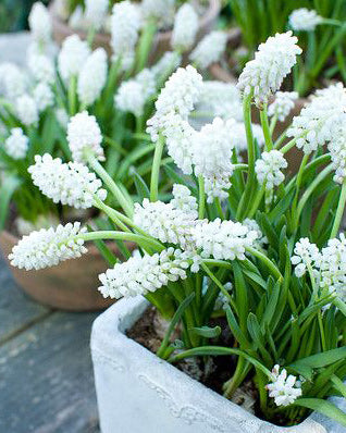 SOLD OUT White Magic Muscari - 10 bulbs