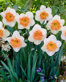 SOLD OUT Precocious Large Cup Daffodil - 10 bulbs