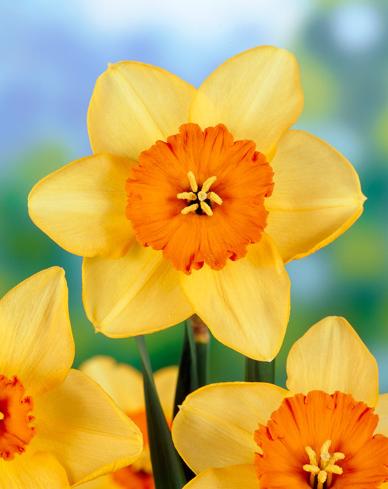 SOLD OUT Ambergate Large Cup Daffodil - 10 bulbs