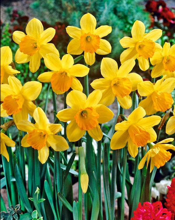 Fortune Large Cup Daffodil - 10 bulbs